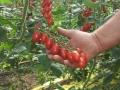 pomodoro-datterino-agrisole-2