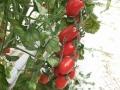 pomodoro-datterino-agro-pontino-agrisole-1