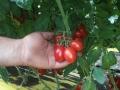 pomodoro-pixel-agro-pontino-2