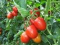 pomodoro-pixel-agro-pontino-3