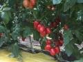 pomodoro-pixel-agro-pontino-4