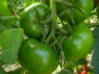 Pomodoro Tondo Verde