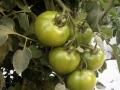 pomodoro-tondo-verde-2