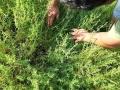 campo-semi-agretto-agro-pontino-agrisole-1