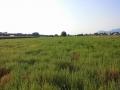 campo-semi-agretto-agro-pontino-agrisole