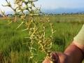 pianta-semi-agretto-agro-pontino-agrisole