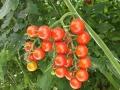 pomodoro-ciliegino-agrisole