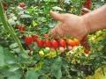 pomodoro-datterino-agro-pontino-3