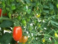 pomodoro-datterino-agro-pontino-agrisole-2
