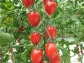 pomodoro-datterino-agro-pontino-agrisole