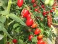 pomodoro-datterino-agro-pontino
