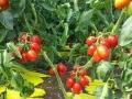 pomodoro-pixel-agro-pontino
