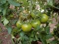 pomodoro-tondo-verde-1