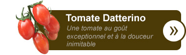 Tomate Datterino